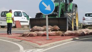 accidente de un camios de cerdos 0