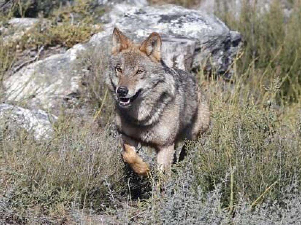 La Plataforma de la Ganadería Extensiva pide paralizar la medida favorable al lobo