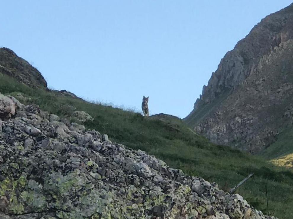 Imagen del lobo que se tomó el 29 de junio de 2019 , en el monte de Bisaurri