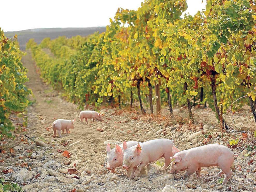 Cerdos de una de las granjas de Grupo Costa.