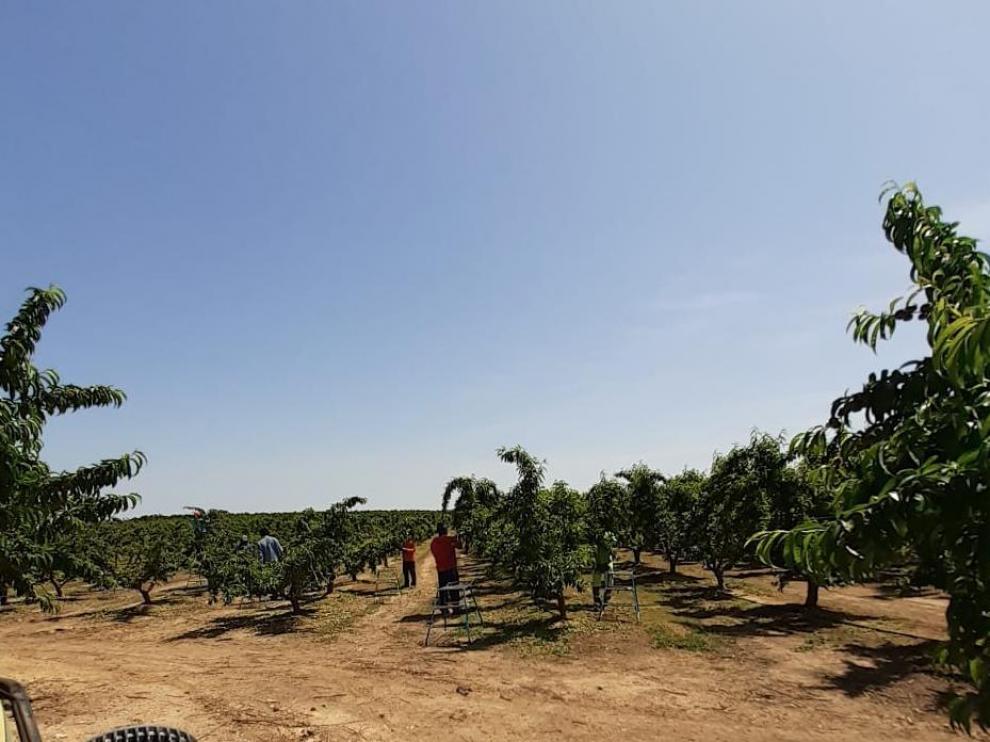 Campo de cerezas en el Bajo Cinca durante la campaña frutícola