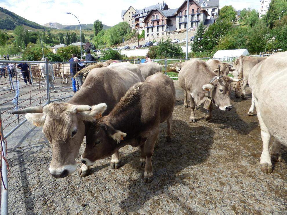 Presencia de vacuno de raza Parda de Montaña en la feria de ganado de Sallent.