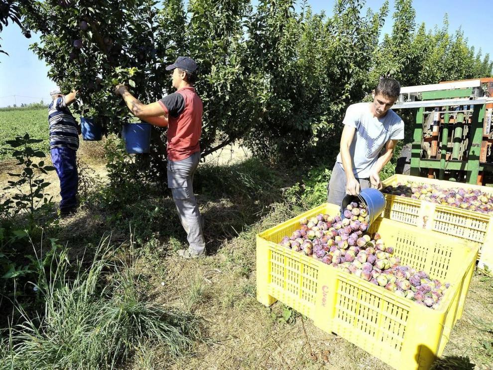 La campaña frutícola empieza con normalidad en la zona del Bajo Cinca