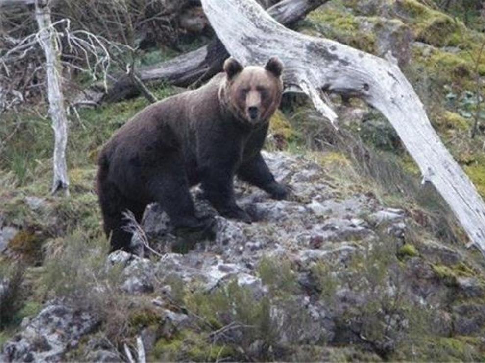 Ecologistas piden información de la llegada de osos al Pirineo
