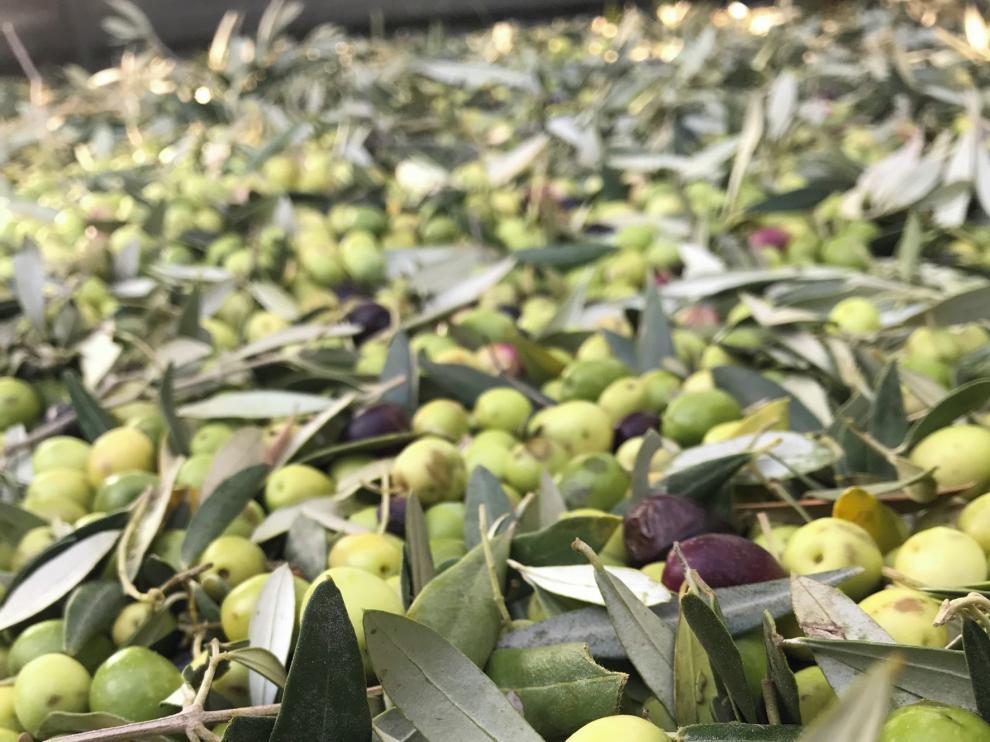 Termina una mala campaña olivarera en la comarca del Somontano