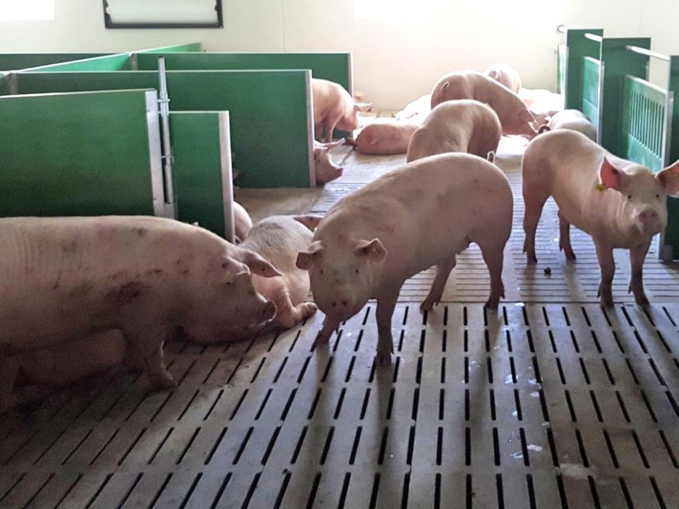 Loporzano prevé una nueva explotación porcina