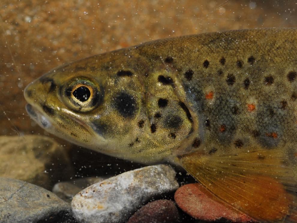 """El Plan General de Pesca amplía la temporada de captura y suelta en """"aguas trucheras"""""""