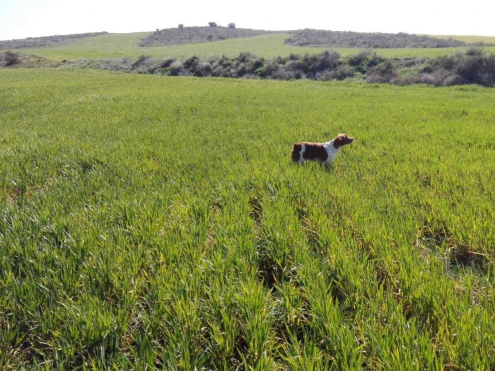 Colungo del Somontano, el tercer mejor perro bretón de Europa