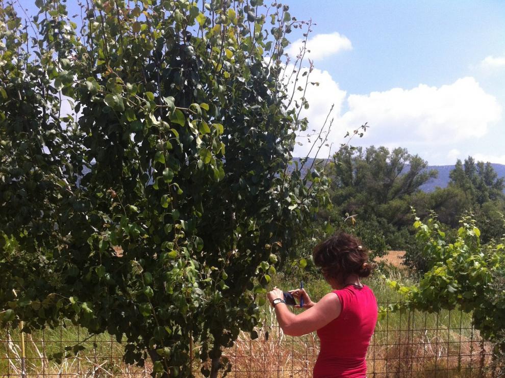 El plan de recuperación de frutales se extiende a Coscojuela y Enate