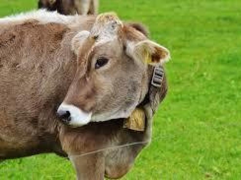 El CITA investiga cómo reforzar la identidad de la carne de vacuno del Pirineo y su promoción