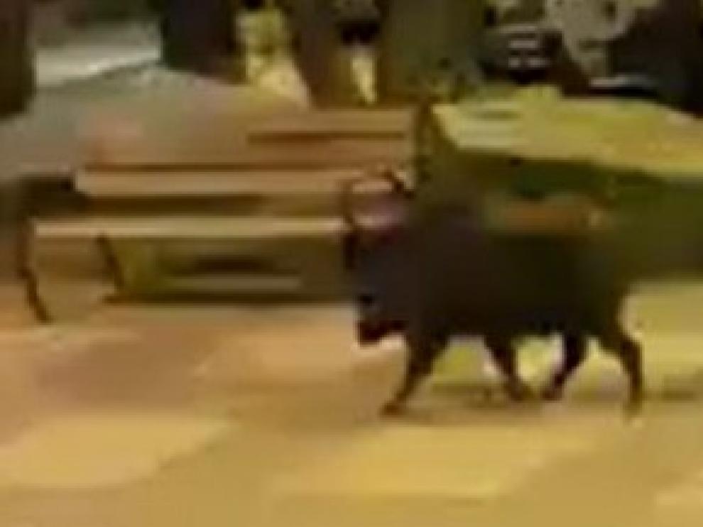 VÍDEO: El paseo de un jabalí por la calle Francisco Zueras sorprende a los vecinos de Barbastro