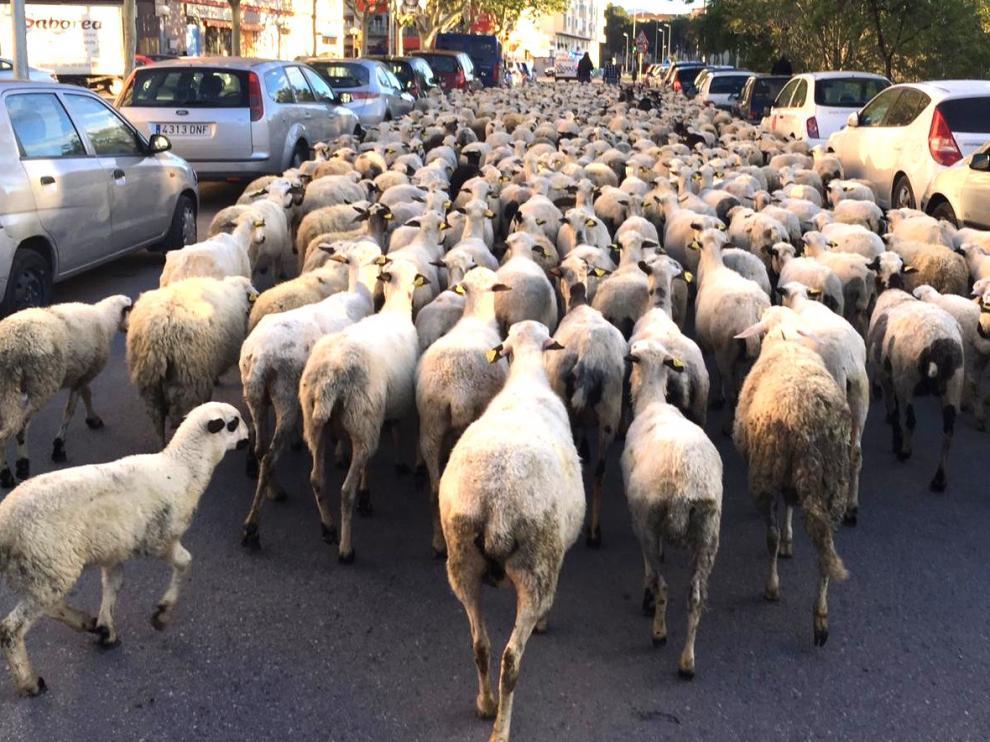 Un rebaño de casi 200 chotos pasará por la ciudad de Huesca este domingo