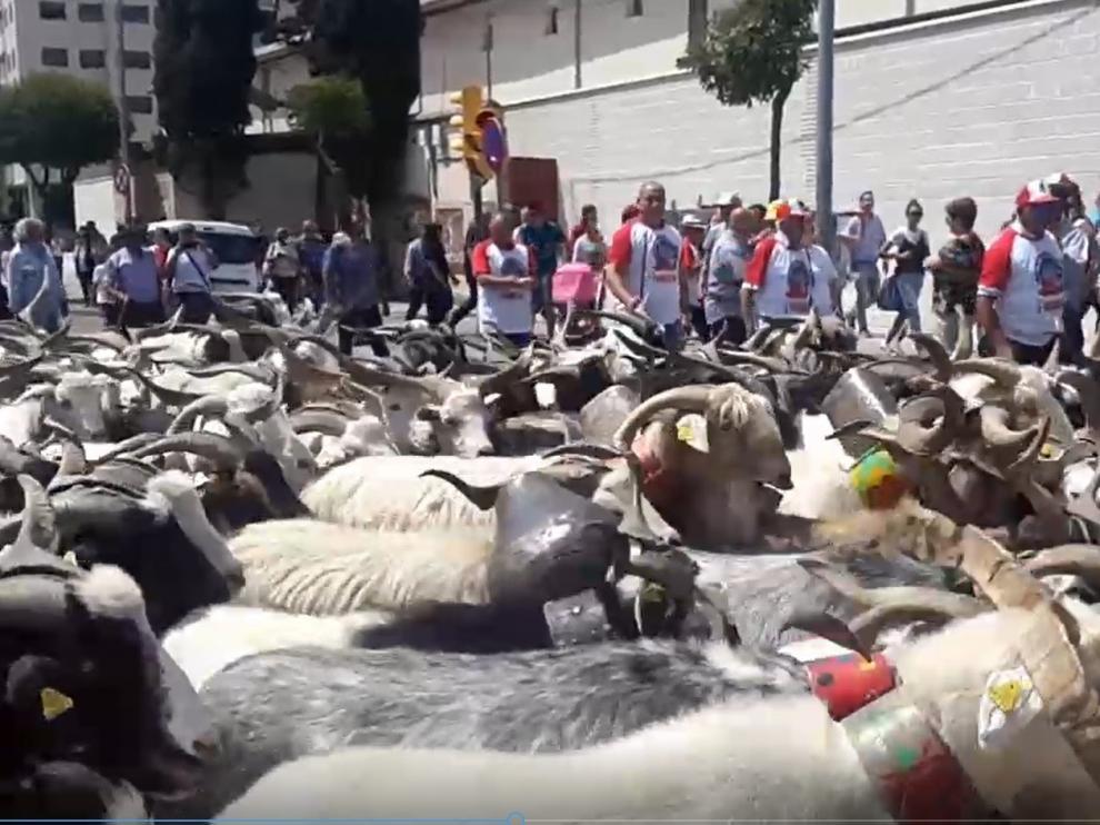 El mundo rural reivindica en Huesca la ganadería extensiva con el paso de 160 chotos por la ciudad
