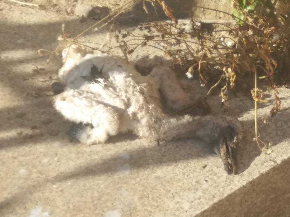 Aparece un cigoñino muerto a los pies de la torre de la catedral de Barbastro