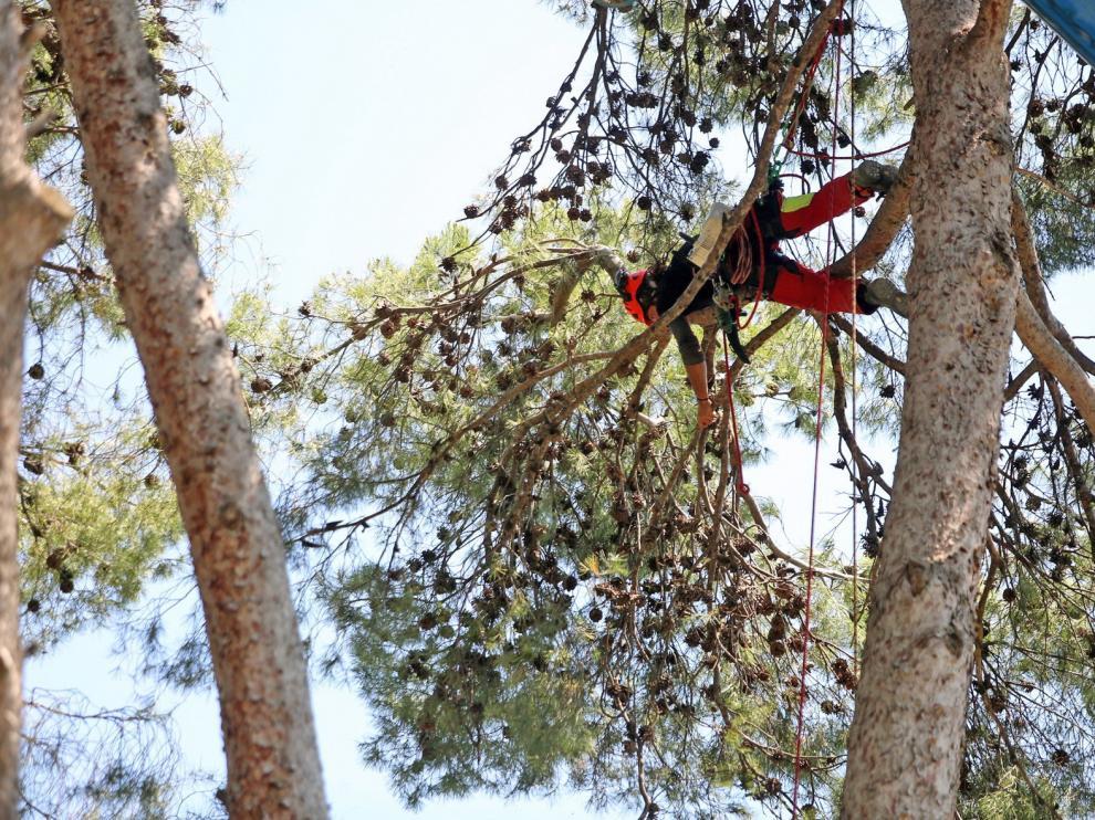 Comienza la poda de seguridad en el pinar antiguo del parque Miguel Servet de Huesca