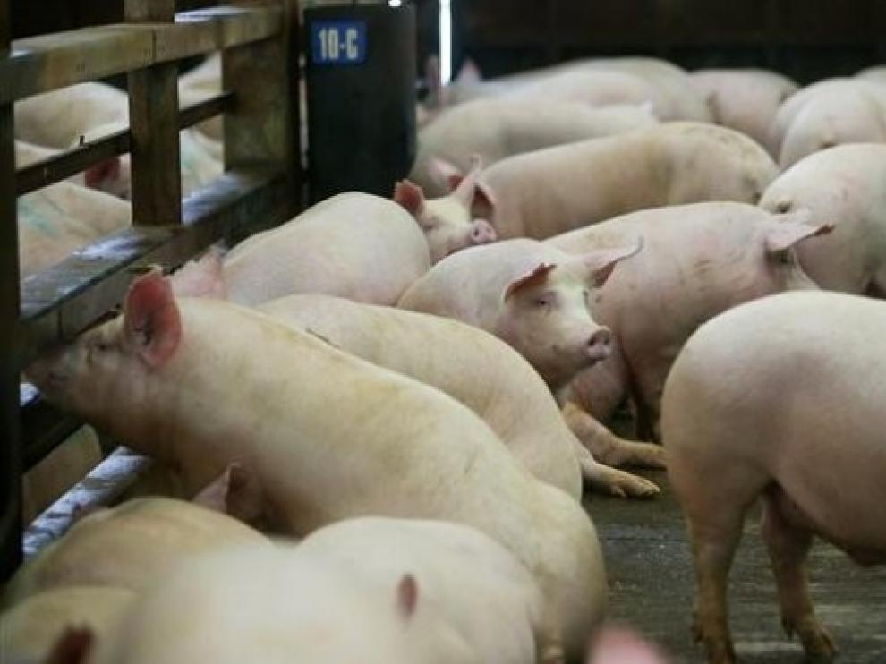 Malestar de la ADS de Jaca por los prejuicios contra el sector del porcino