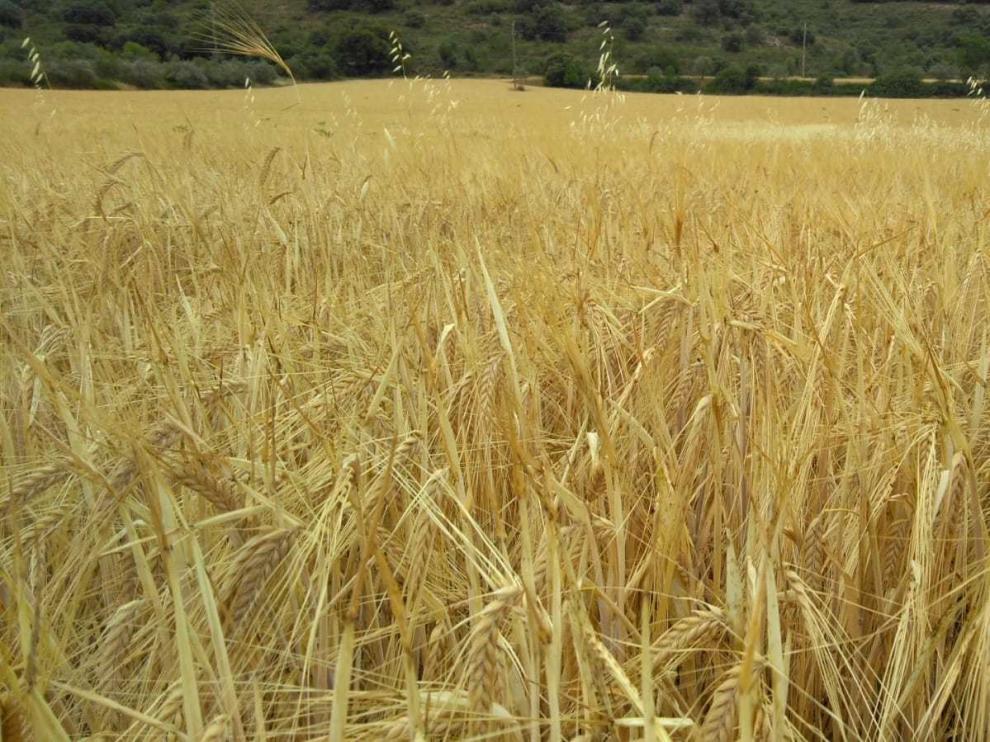 La Hoya, Los Monegros, Bajo Cinca y La Litera, las comarcas más perjudicadas por la sequía
