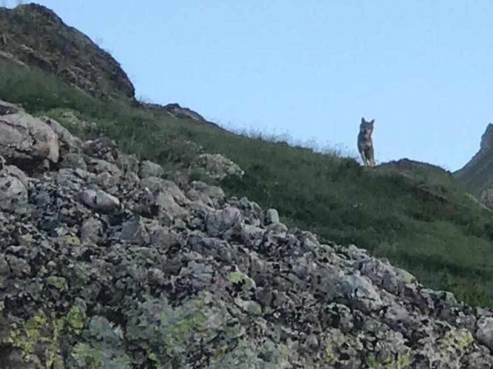 """Asaja denuncian una situación de """"extrema gravedad"""" por la presencia del lobo en Ribagorza"""