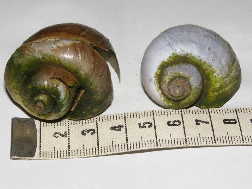 Detectados dos ejemplares muertos de caracol manzana en el río Matarraña