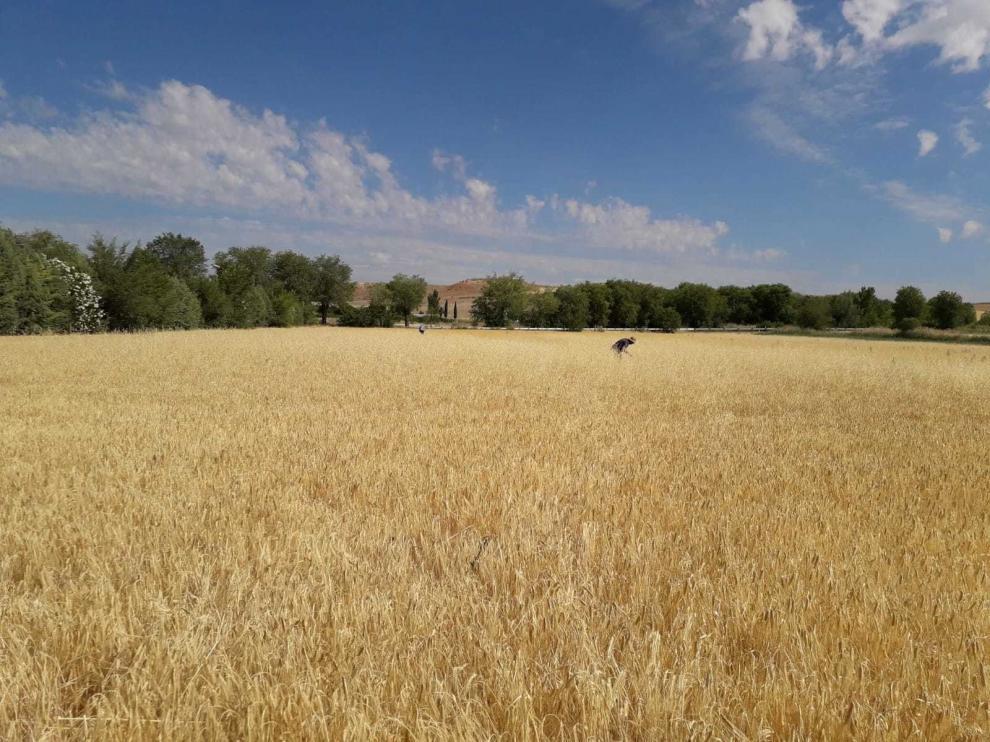 Agroseguro indemnizará por la sequía a mediados de julio