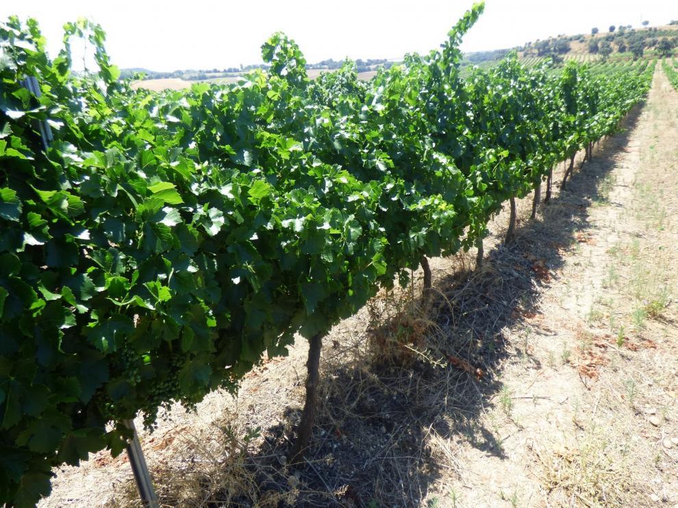 Somontano comienza este jueves la vendimia con una previsión de recogida de uva de 19 millones de kilos