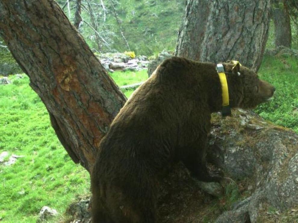 Críticas a la DGA por su postura contraria a la presencia del oso en el Pirineo