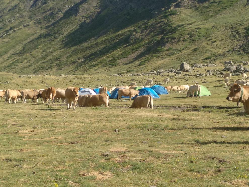 Campamento de vacas