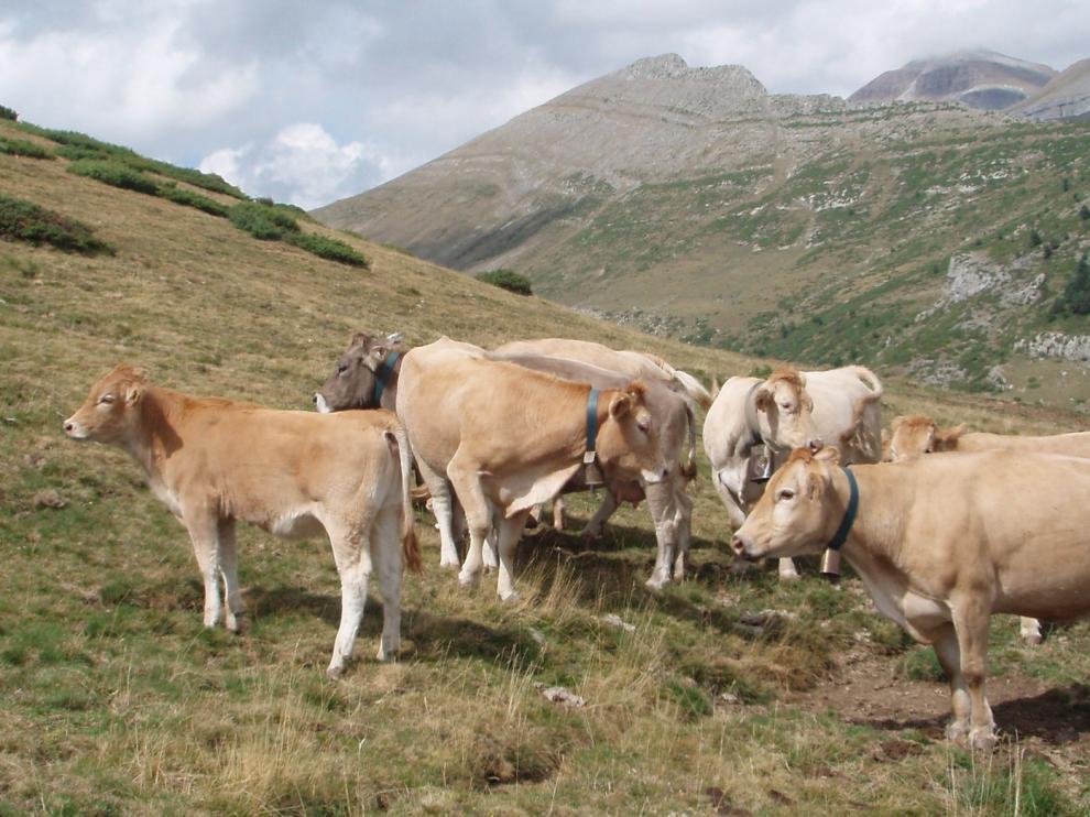 Afecciones al tráfico este jueves y el viernes por la subida de ganado a los pastos de Cerler