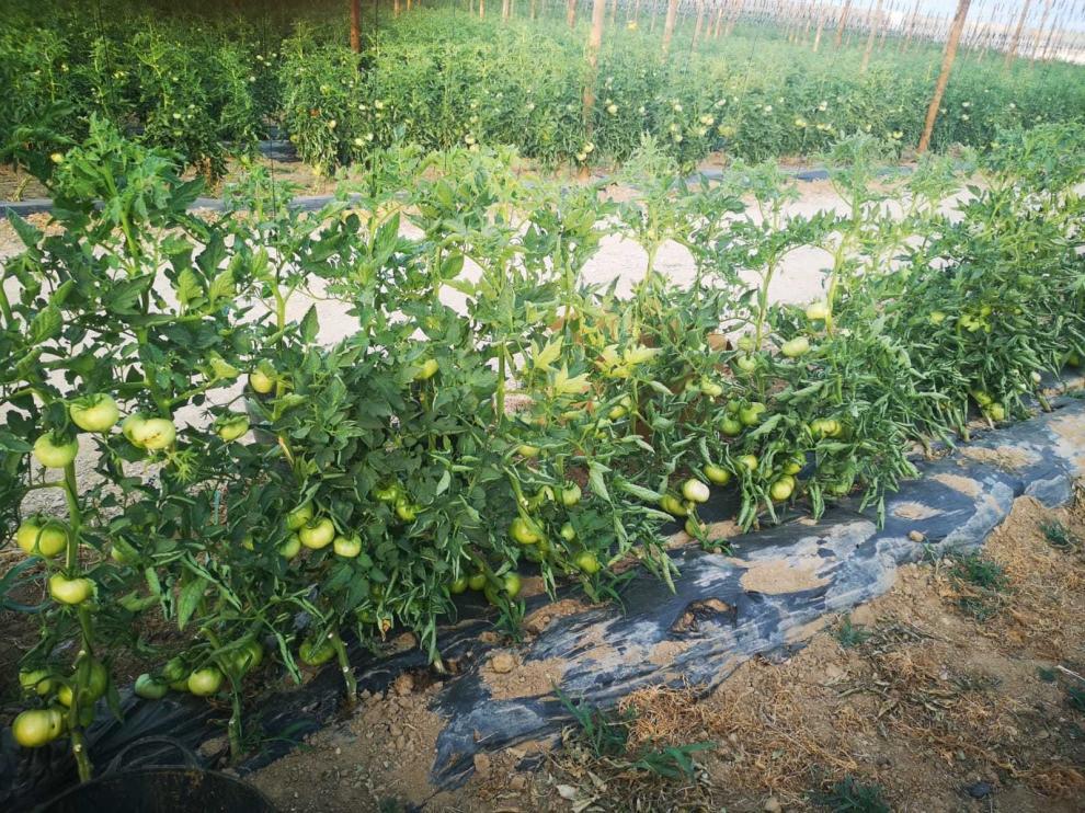 Buen comienzo de la campaña productiva del Tomate Rosa de Barbastro