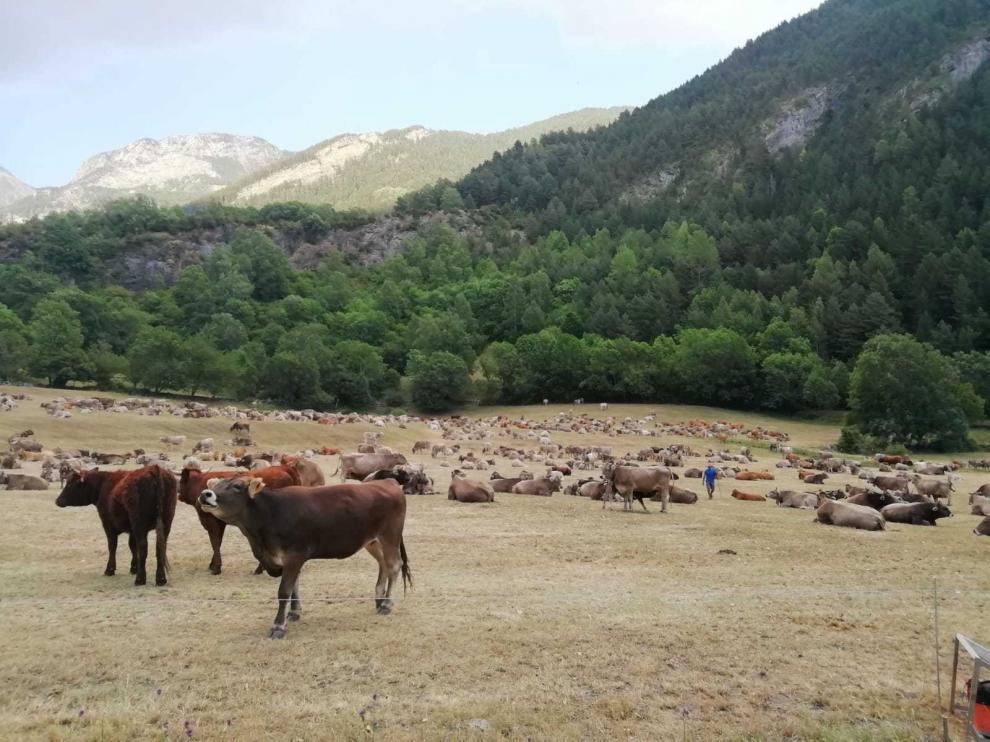 Cerca de un millar de vacas de 11 ganaderos pastan estos días en Ardonés