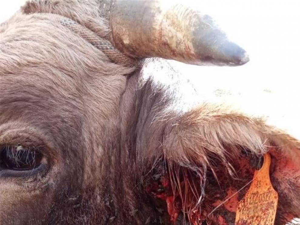 Un técnico de la DGA examinó este jueves el toro herido en el monte de Gistaín