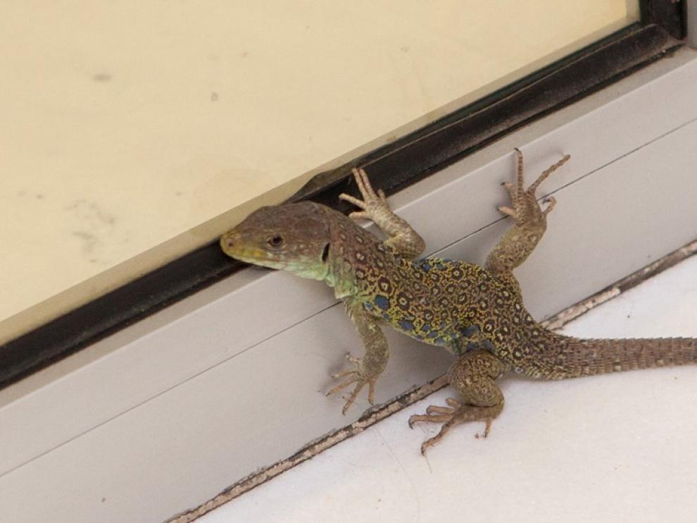 Una especie protegida se cuela en una sucursal bancaria de Huesca