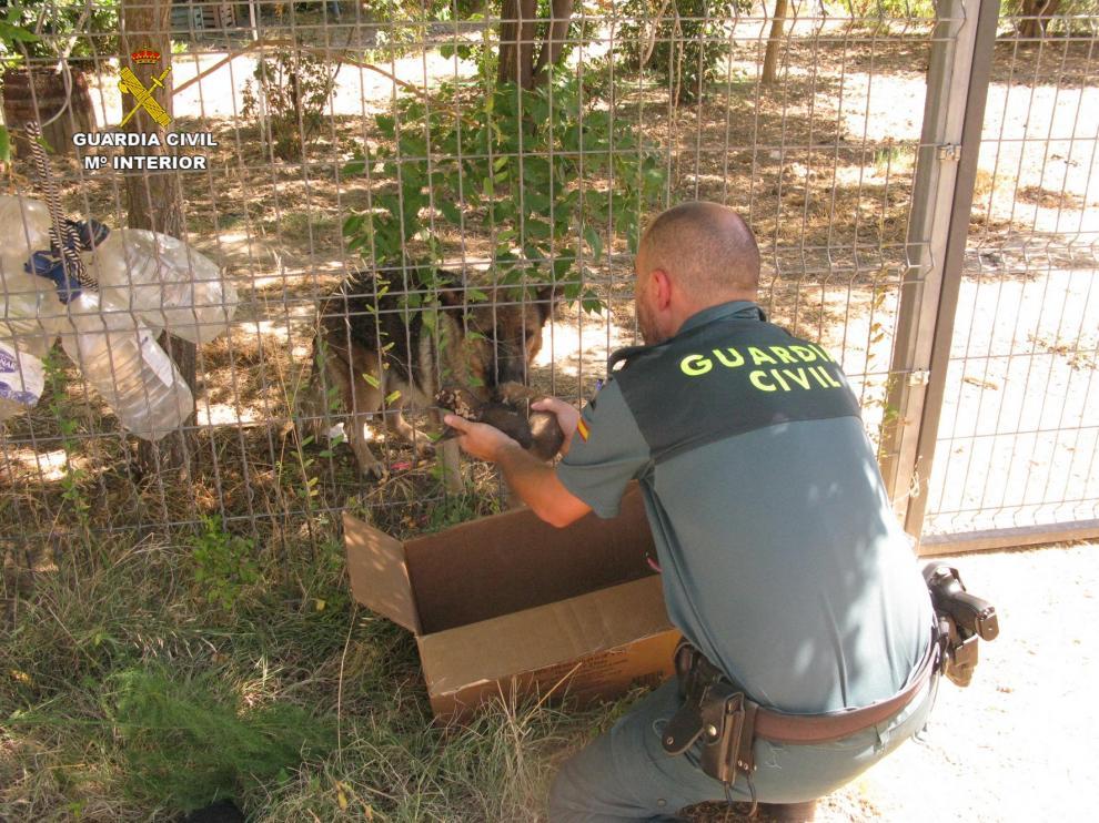 La Guardia Civil de Teruel rescata a seis cachorros de pastor alemán enterrados vivos