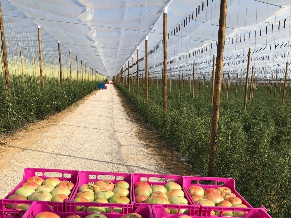 Los productores de Tomate Rosa prevén récord de recolección