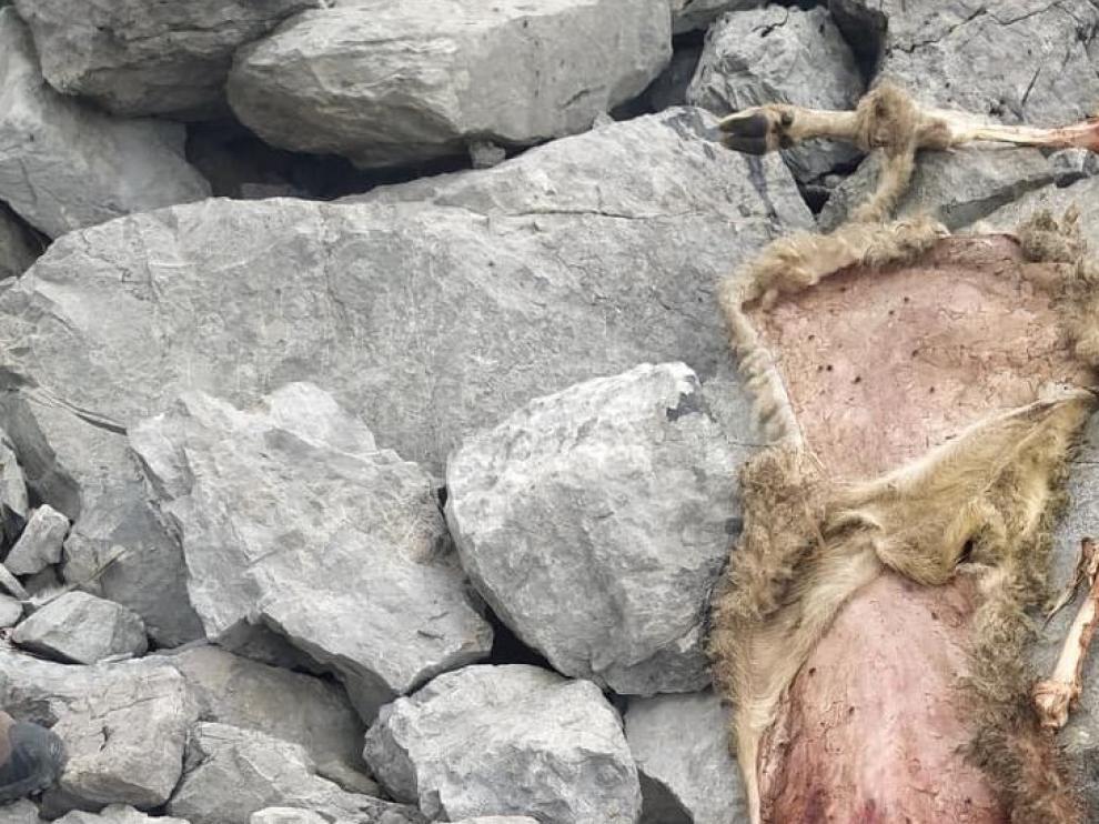 Un oso mata a 9 ovejas en el valle de Hecho