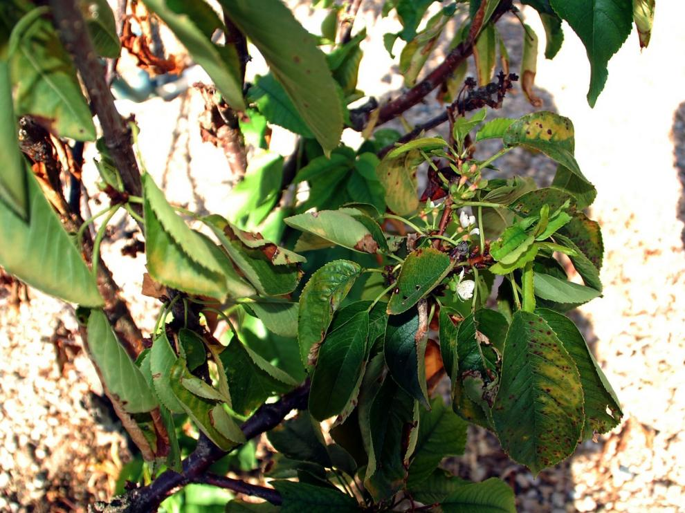 Sariñena es diferente: florece un cerezo en el inicio del otoño