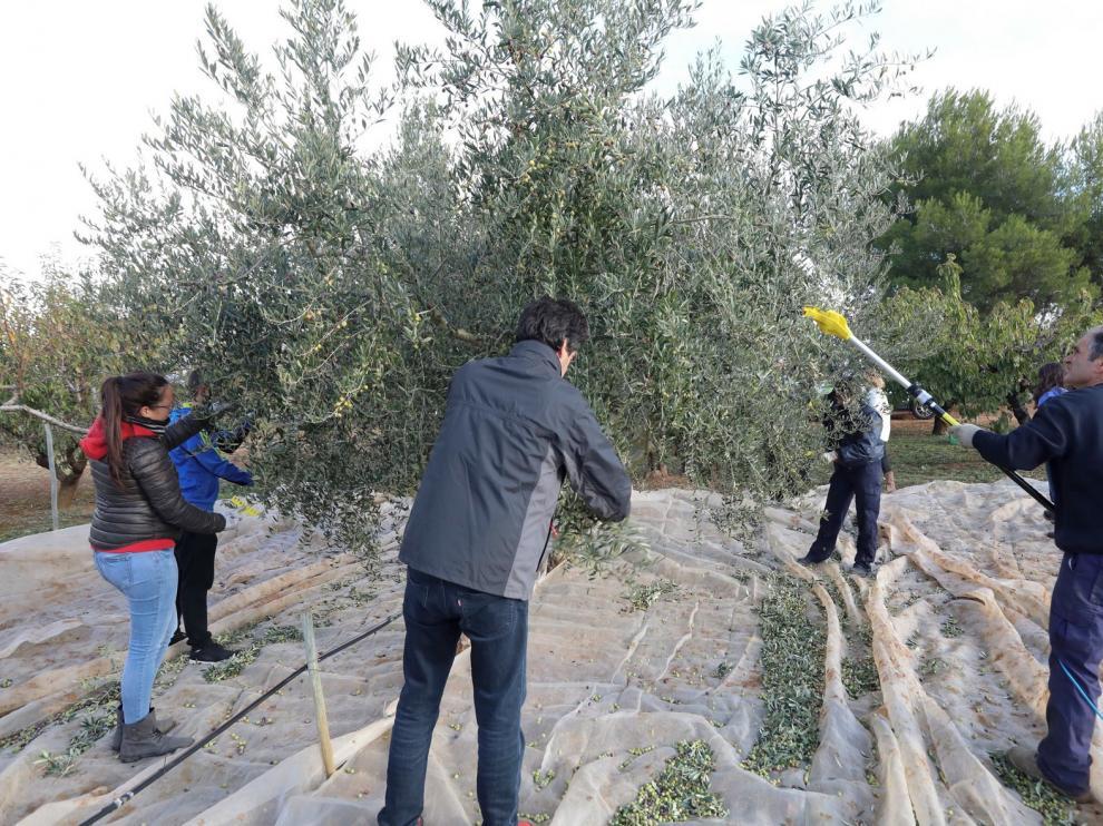 La Escuela Politécnica de Huesca recoge la cosecha de su olivar