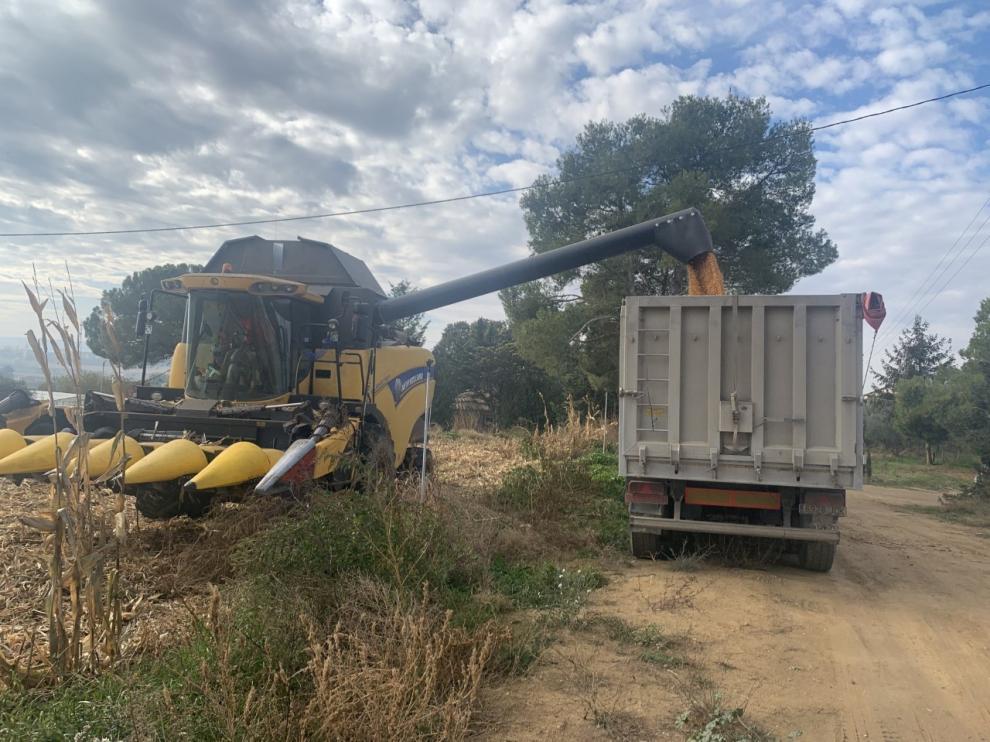 Logran un maíz de ciclo 500 que madura a finales de agosto