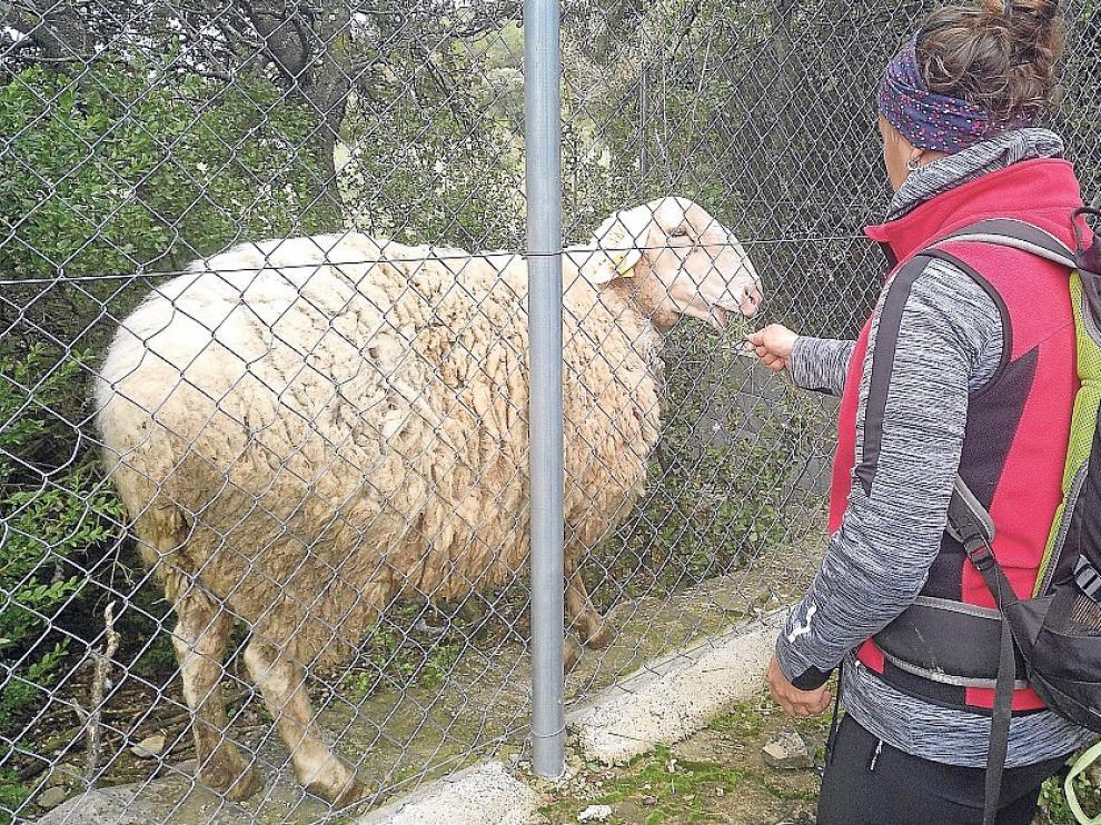 Una oveja muy simpática
