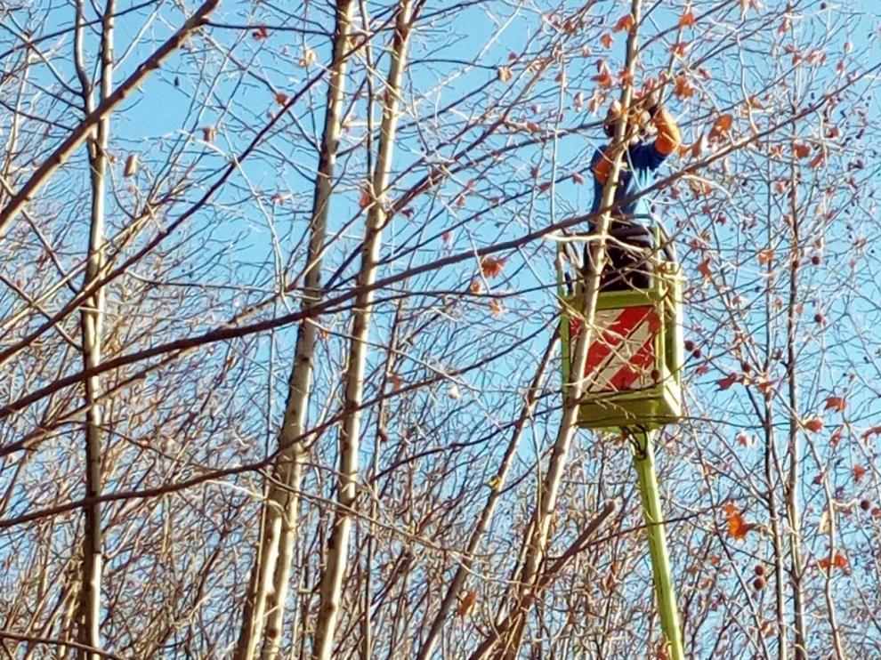 El Ayuntamiento de Huesca podará casi 1.000 árboles en los próximos meses