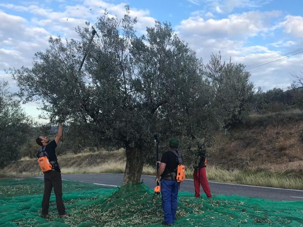 Fuerte bajada de la producción olivarera en la comarca del Somontano