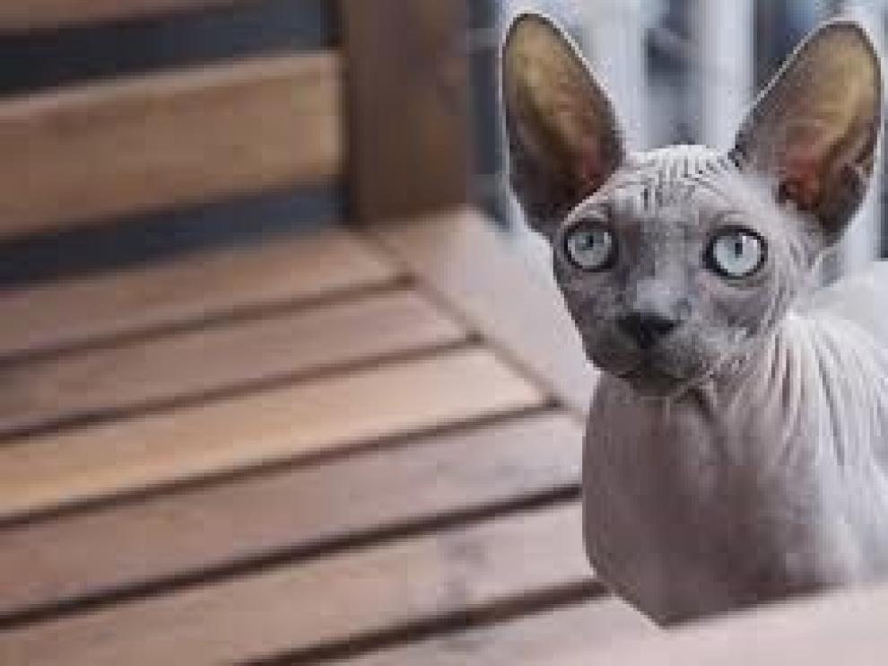 Los gatos esfinge seguirán siendo protagonistas este año 2020