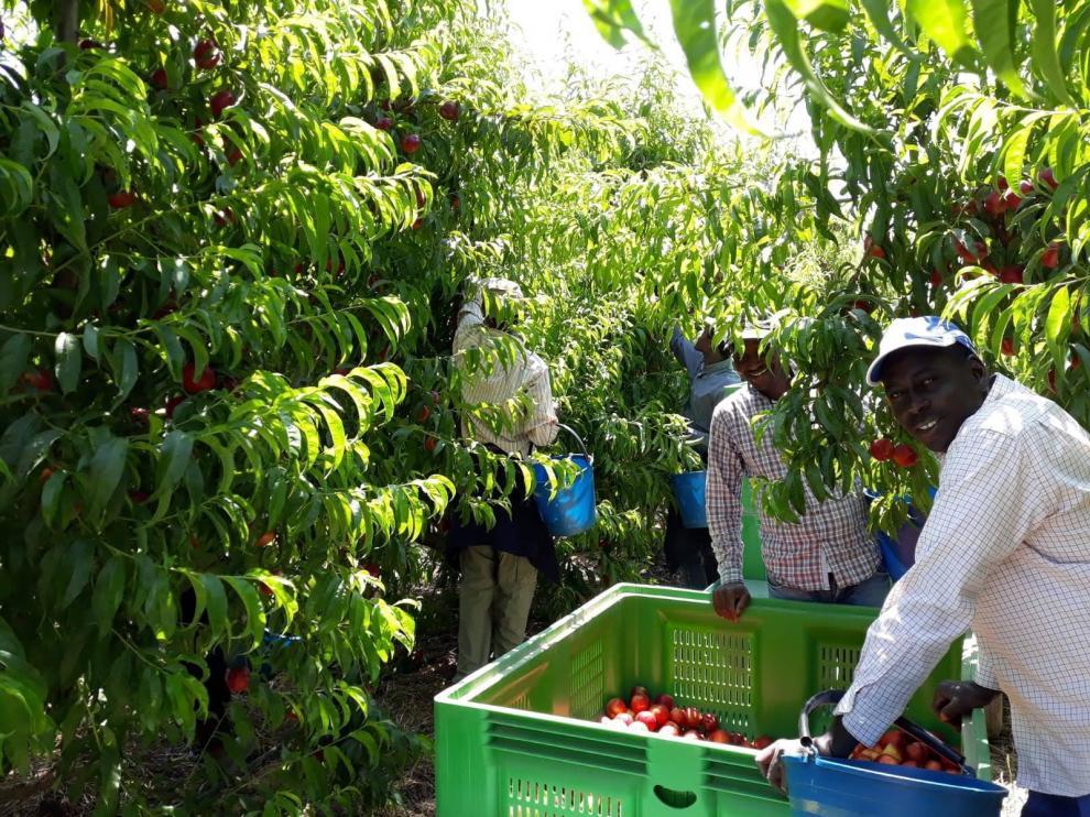 Preocupación en Fraga por los efectos que provoque el coronavirus en el sector agrícola ante la recolección de la fruta