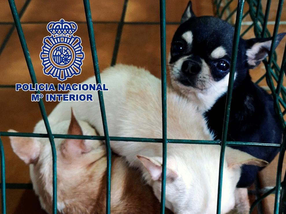Detenido un hombre tras 30 años criando chihuahuas ilegalmente en un zulo