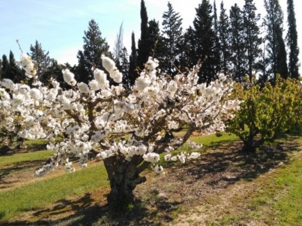Identifican regiones y variantes del genoma de cerezo que ayudarán a adaptar su cultivo a zonas más cálidas