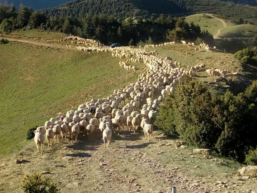 Preocupación por la caída de precios en el ganado ovino a consecuencia de la epidemia de coronavirus