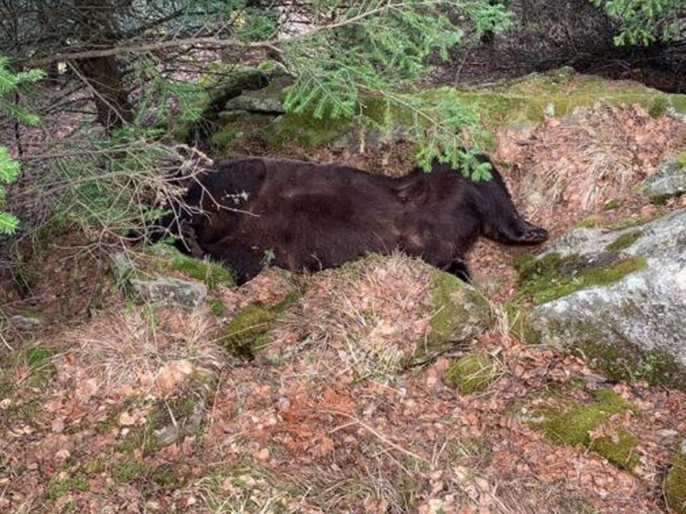 Hallan muerto al oso Cachou en el valle de Arán