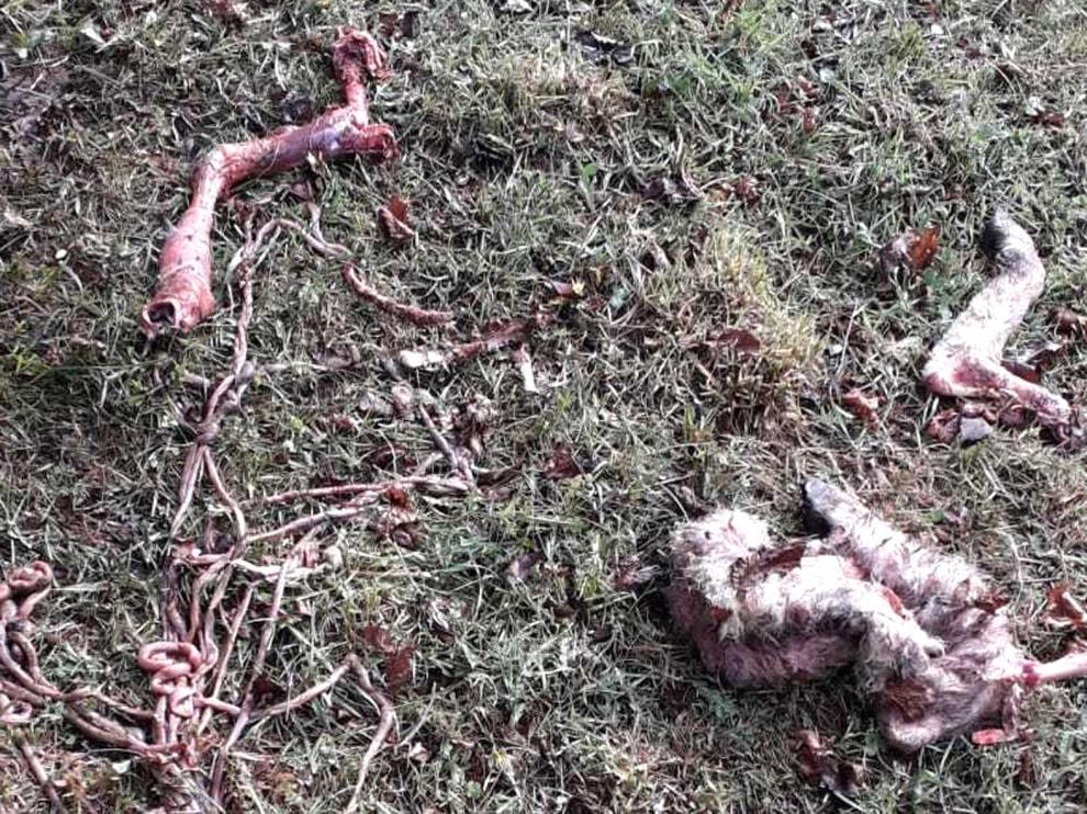Muere una oveja en San Juan de Plan por el ataque del oso Goiat
