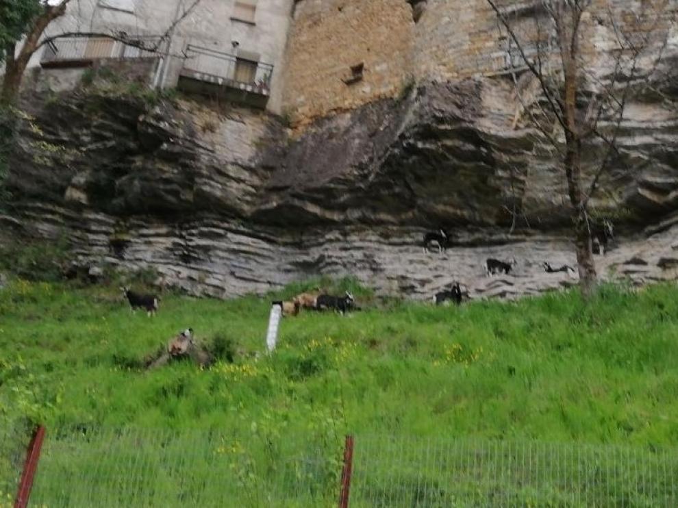 Las cabras vuelven a limpiar de vegetación una ladera en Biescas