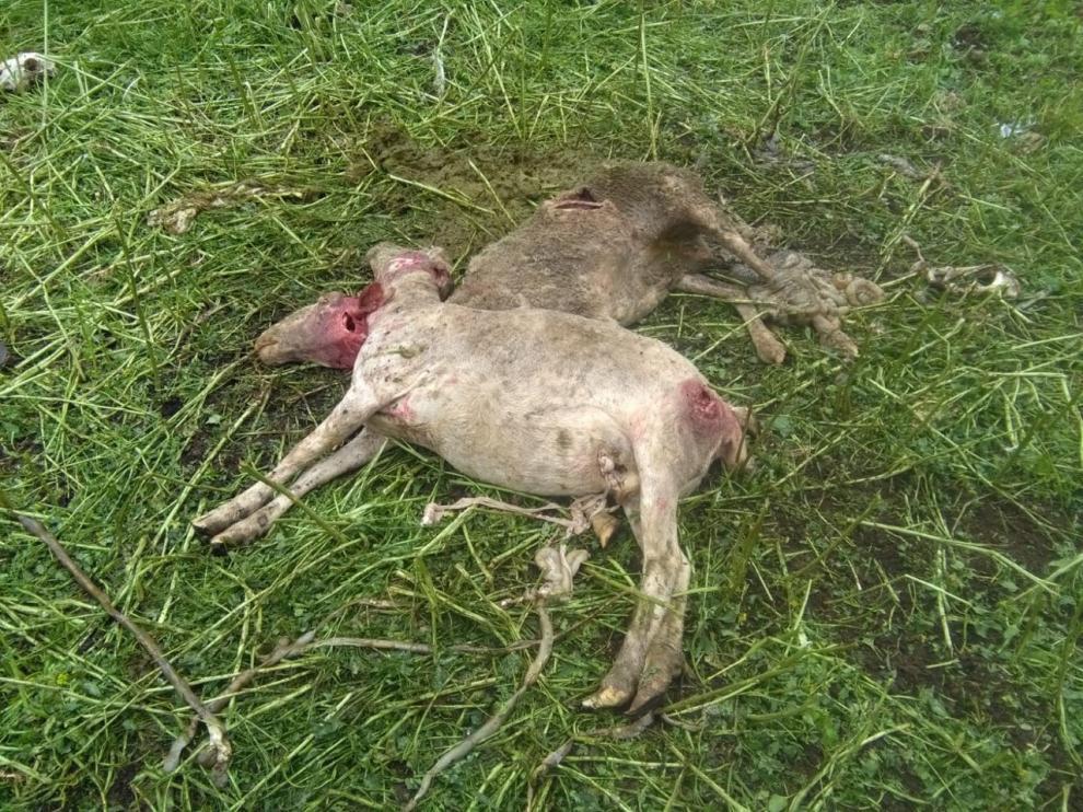 Seis ovejas muertas y cinco malheridas en un ataque en Senés de Alcubierre